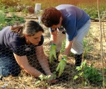 Angie and Julie planting bachelor buttons