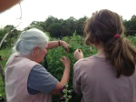 Phyllis and Glacier (AKA Laura) weaving the tomatoes back into their cages